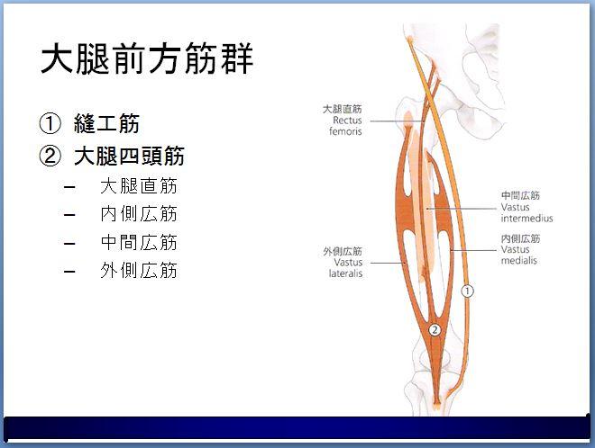 縫工筋の周辺解剖